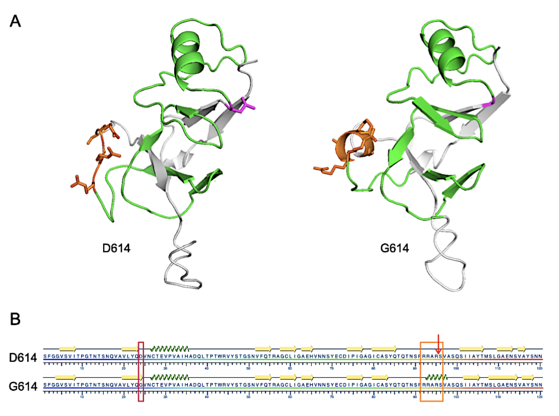 Figure_2-D614-G614-SARS-CoV-2