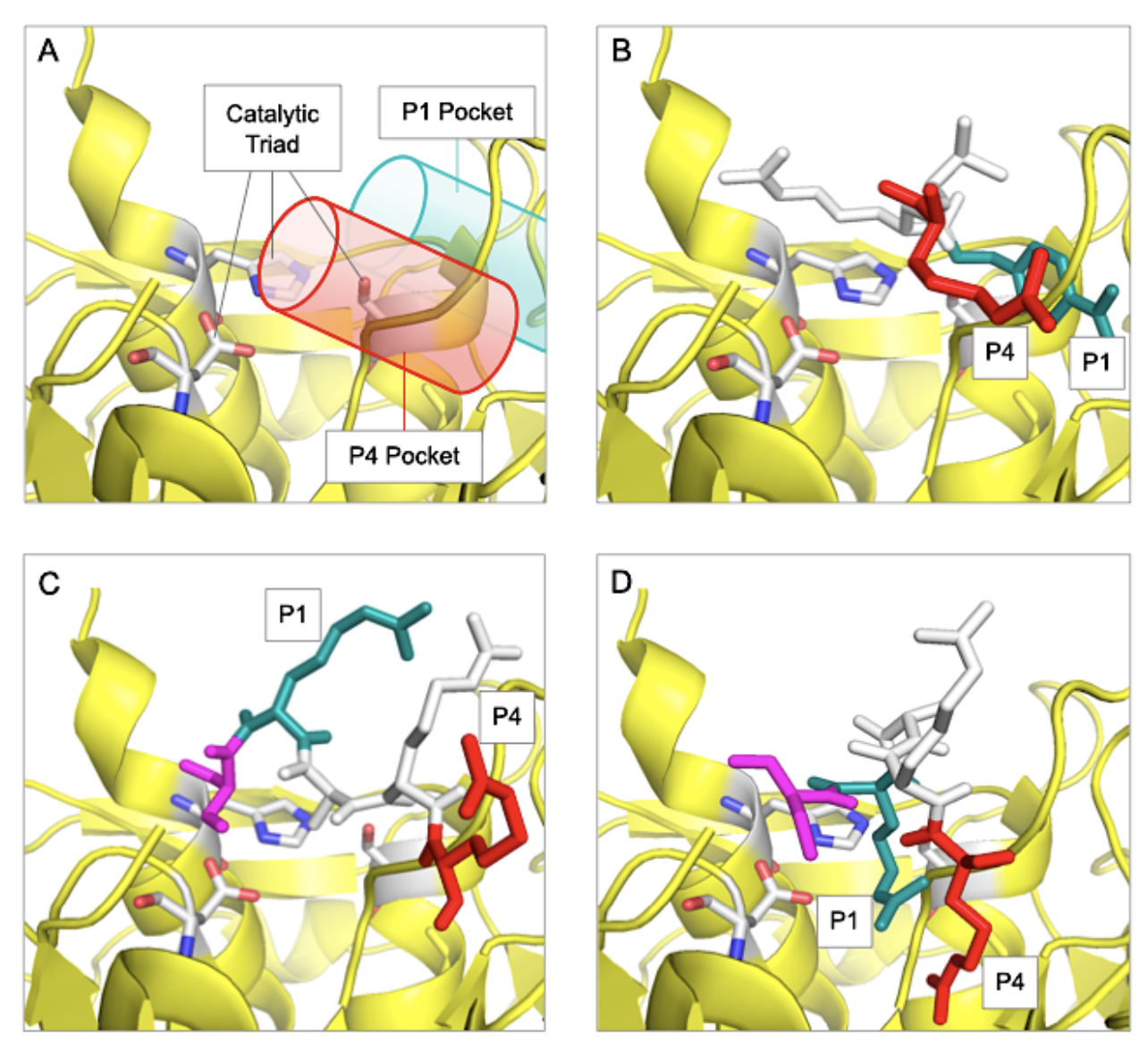 Figure_3-D614-G614-SARS-CoV-2