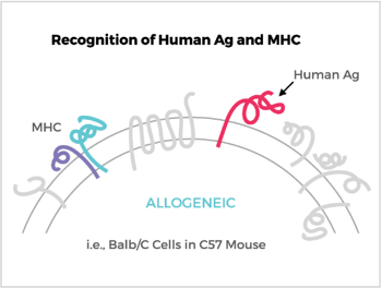 Recognition of Human Ag and MHC
